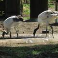 170416-14タンチョウの幼鳥(動物園)
