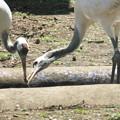 170416-15タンチョウの幼鳥(動物園)