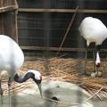 170418-5卵が二個になりました・タンチョウ(動物園)