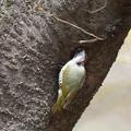写真: 170402-12巣穴を覗き込むアオゲラ♀