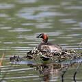 写真: 170420-13卵を温めるカイツブリ