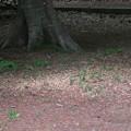 Photos: 170424-11アオゲラが巣穴掘りした後の木屑