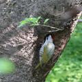 Photos: 170428-7未練がましく乗っ取られた巣を覗くアオゲラ♂