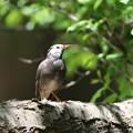 170428-8アオゲラの巣を乗っ取ったムクドリ