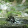写真: 170508-6ヒヨドリの水浴び