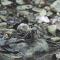 写真: 170511-3コゲラの水浴び(1/5)