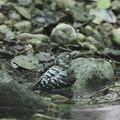 写真: 170511-4コゲラの水浴び(2/5)