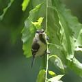 写真: 170615-7シジュウカラの幼鳥の正面顔