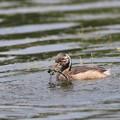 写真: 170616-13これで安心して食べられる・カイツブリの幼鳥(12/12)
