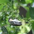 写真: 170616-17シジュウカラの幼鳥
