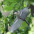 写真: 170616-19シジュウカラの幼鳥