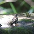 写真: 170616-20コゲラの水浴び