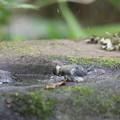 170618-9シジュウカラの水浴び
