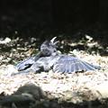 写真: 170711-4羽を乾かしているの?・カラス