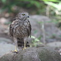 写真: 170716-2オオタカ・幼鳥
