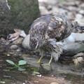 写真: 170716-7水を飲むオオタカ・幼鳥(1/7)