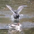 写真: 私の野鳥図鑑・111207魚をくわえたオナガガモを追うオオバン(1/3)