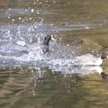写真: 私の野鳥図鑑・111207魚をくわえたオナガガモを追うオオバン(2/3)