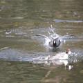 私の野鳥図鑑・111207-IMG_7594魚をくわえたオナガガモを追うオオバン