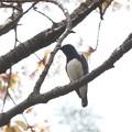 私の野鳥図鑑・120418-IMG_7669オオルリの♂
