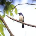 写真: 私の野鳥図鑑・130501オオルリ♂