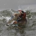 写真: 私の野鳥図鑑・080420オシドリの喧嘩(1/6)