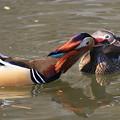 写真: 私の野鳥図鑑・100327-IMG_6853オシドリの愛撫?