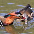 写真: 私の野鳥図鑑・100327愛情表現?オシドリ