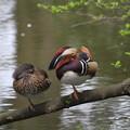 写真: 私の野鳥図鑑・100409-1オシドリ1