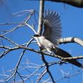 写真: 私の野鳥図鑑・121226-21オナガ