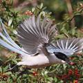 写真: 私の野鳥図鑑・130110オナガとピラカンサスの実