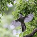 写真: 私の野鳥図鑑・130522-2オナガ