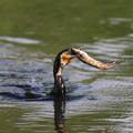 写真: 私の野鳥図鑑・160731ナマズを捕まえたカワウ