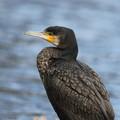 写真: 私の野鳥図鑑・170224-BQ2A7143カワウ