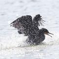 写真: 私の野鳥図鑑・170610カワウの水浴び