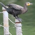 写真: 私の野鳥図鑑・170626ちょっと失礼・カワウ・左下に注目