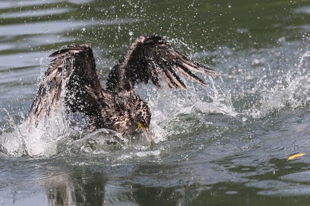 私の野鳥図鑑・170709-カワウの水浴び