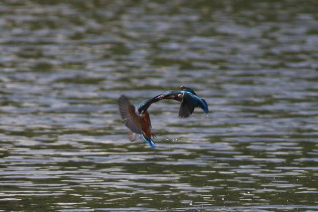 私の野鳥図鑑・081020縄張り争い・カワセミ