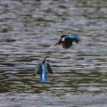 写真: 私の野鳥図鑑・081020縄張り争い・カワセミ