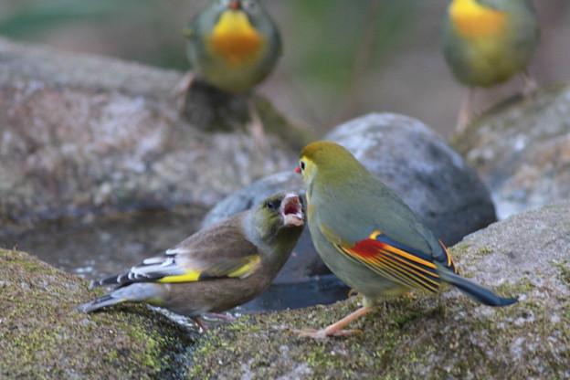 私の野鳥図鑑・110114ソウシチョウを威嚇するカワラヒワ