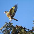 写真: 私の野鳥図鑑・130305カワラヒワ