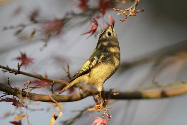 私の野鳥図鑑・121229キクイタダキ