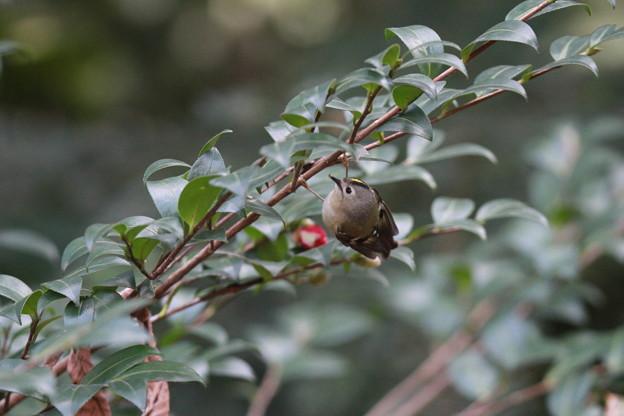 私の野鳥図鑑・130126キクイタダキ
