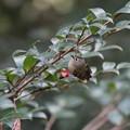 写真: 私の野鳥図鑑・130126キクイタダキ