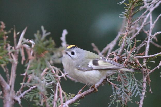 私の野鳥図鑑・130126-IMG_7024キクイタダキ