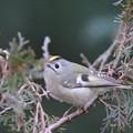 写真: 私の野鳥図鑑・130126-IMG_7024キクイタダキ