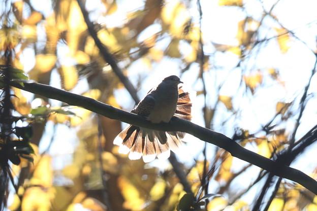 私の野鳥図鑑・141208キジバトの舞い(1/2)