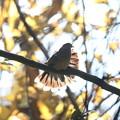 写真: 私の野鳥図鑑・141208キジバトの舞い(1/2)