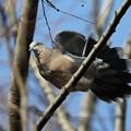 私の野鳥図鑑・150104キジバト