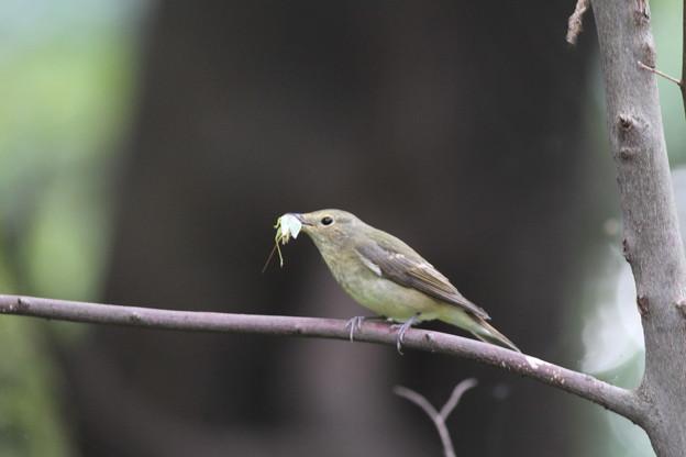 私の野鳥図鑑・101003アオマツムシ?を捕まえたキビタキ♀